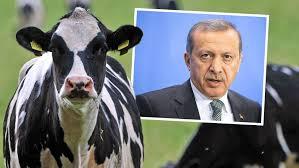 Türkei: Niederländische Kühe werden ausgewiesen
