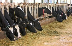 Kühe auf einer Farm in Israel