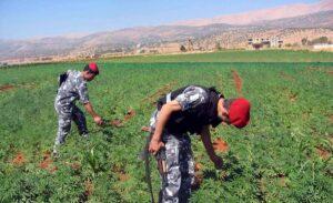 Im Libanon soll der Cannabisanbeu für medzinische und industrielle Zwecke legalisiert werden