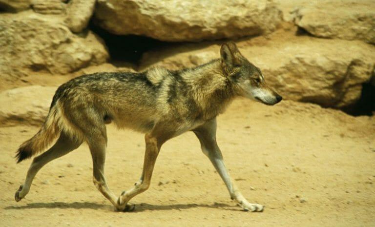 Canis lupus arabs: In Israel und dem Westjordanland lebten schon immer Wölfe