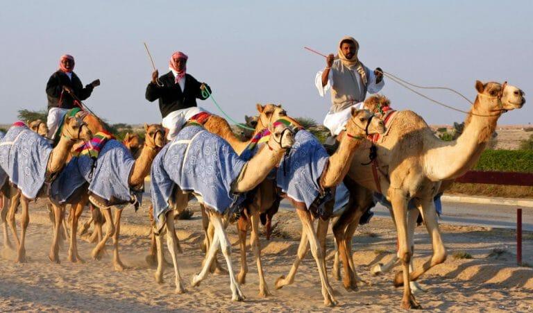 Kamelrennen haben sich in der arabsichen Welt zu einem professionellen Geschäft entwickelt