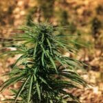 Pflanze auf einem Hanffeld im Libanon. (© imago images/agefotostock)