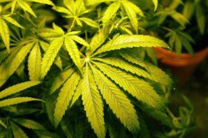 In Marokko künftig erlaubt: der Anbau von Cannabis. (© imago images/ZUMA Wire)